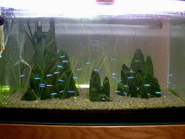 熱帯魚のカージナルテトラ