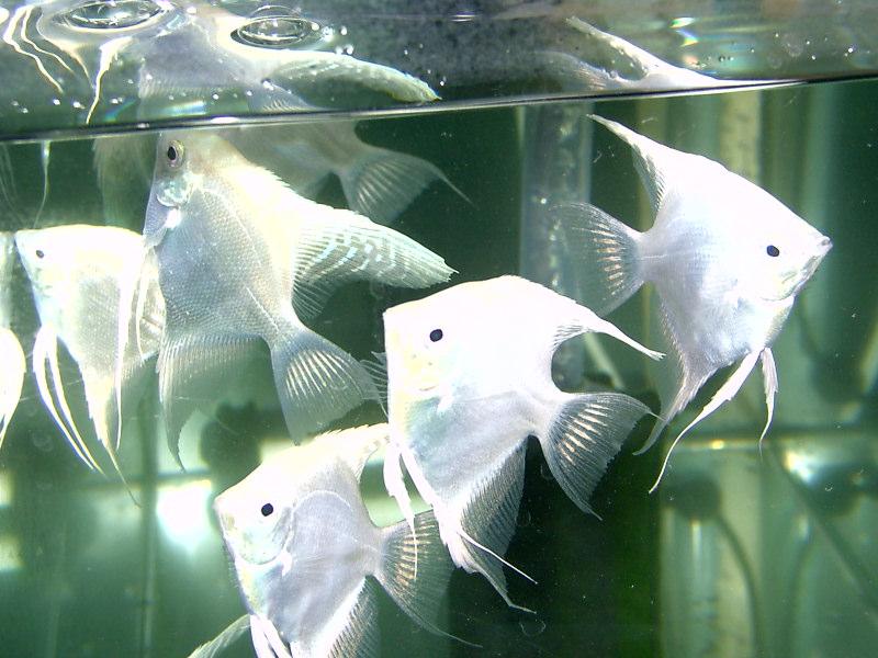 熱帯魚のプラチナエンゼル